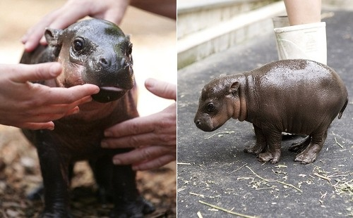 Hey, did you know PYGMY HIPPOS WERE A THING?! Now you do & you can obsess with me!